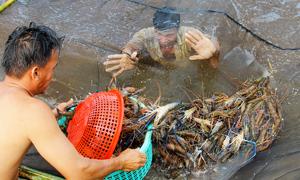Vietnam gains from rising US shrimp demand
